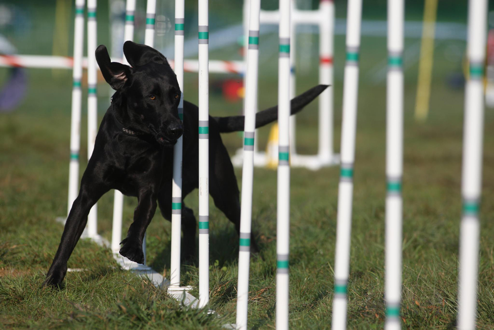 Dog Agility Training Nyc